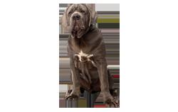 Dog Breed Neapolitan Mastiff