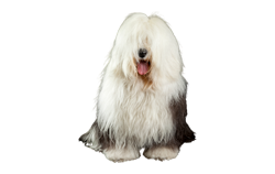 Dog Breed Old English Sheepdog