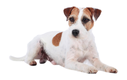 Dog Breed Parson Russel Terrier