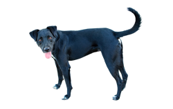 Dog Breed Patterdale Terrier