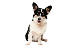 Dog Breed Pembroke Welsh Corgi