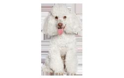 Dog Breed Poodle