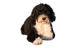 Dog Breed Portuguese Water Dog