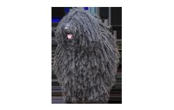 Dog Breed Puli