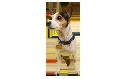 Dog Breed Rat Terrier