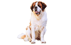 Dog Breed Saint Bernard