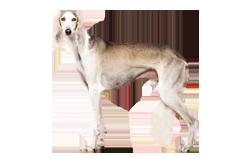 Dog Breed Saluki