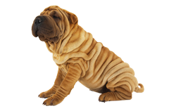 Dog Breed Shar Pei