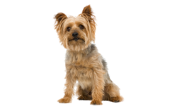 Dog Breed Silky Terrier