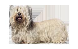 Dog Breed Skye Terrier