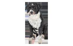 Dog Breed Spanish Water Dog