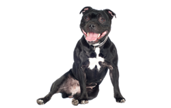 Dog Breed Staffordshire Bull Terrier