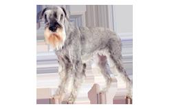 Dog Breed Standard Schnauzer