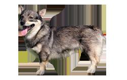 Dog Breed Swedish Vallhund