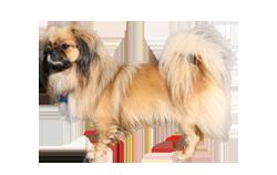 Dog Breed Tibetan Spaniel