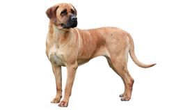 Dog Breed Tosa