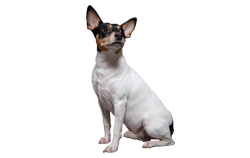 Dog Breed Toy Fox Terrier