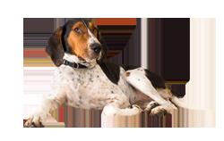 Dog Breed Treeing Walker Coonhound