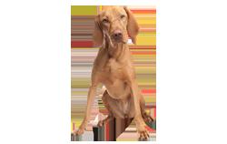 Dog Breed Vizsla