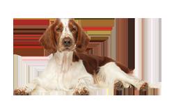 Dog Breed Welsh Springer Spaniel