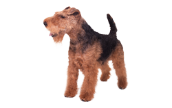 Dog Breed Welsh Terrier