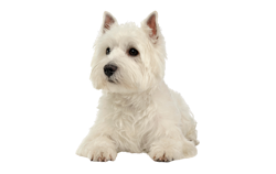 Dog Breed West Highland White Terrier