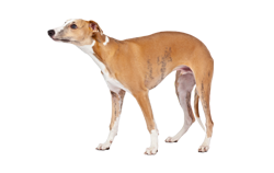 Dog Breed Whippet