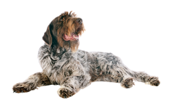 Dog Breed Wirehaired Pointing Griffon
