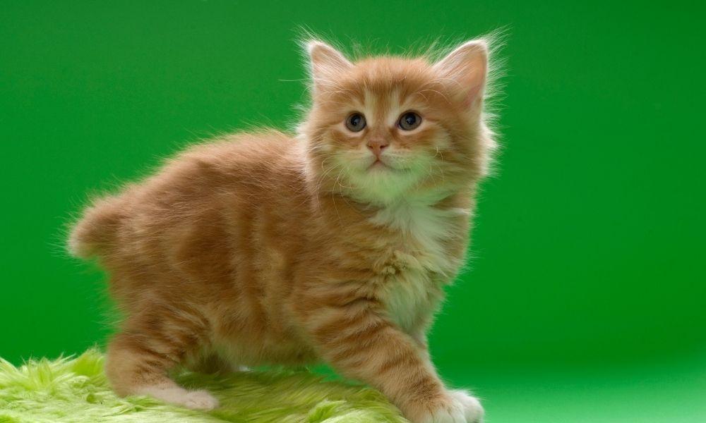 an orange kurilian kitty on a green rug