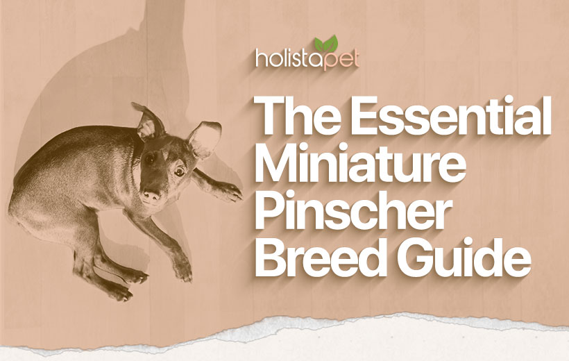 The Essential Miniature Pinscher Breed Guide Featured Blog Post