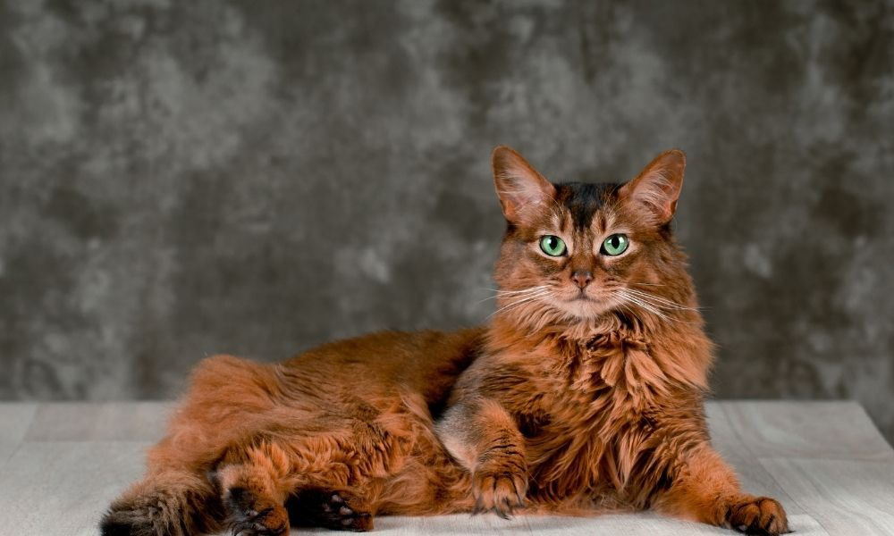 a long haired red cat with blue eyes laying down