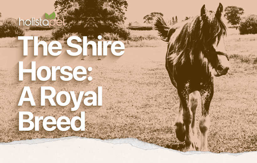 Shire Horse: The Royal Breed Featured Blog Image