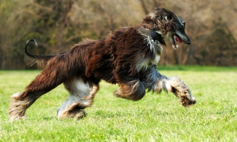 a brown afghan dog running in a grassy field
