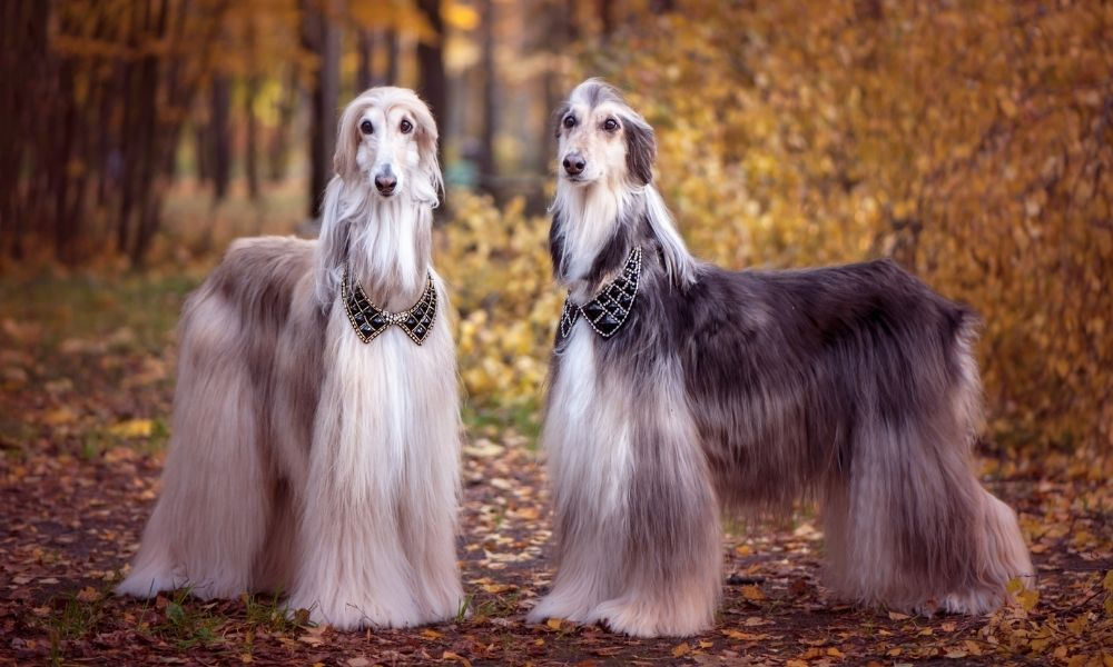a pair of well-groomed dogs standing together in the woods with shawls on their necks
