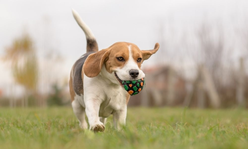 small beagle exercising outside with a ball