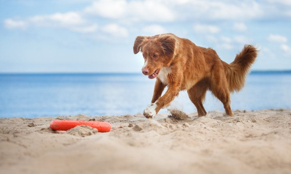 canine chasing a red frisbee on the beach