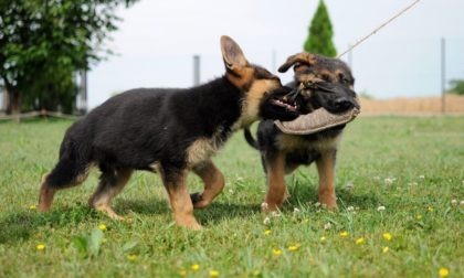two german shepherds playing tug of war