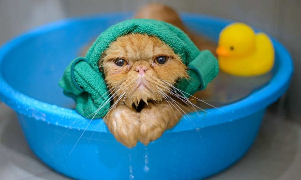 a wet cat in a blue tub with a towel on its head