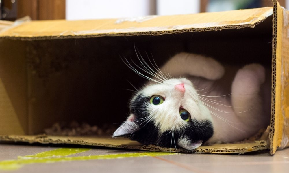 a black and white cat playing in a box