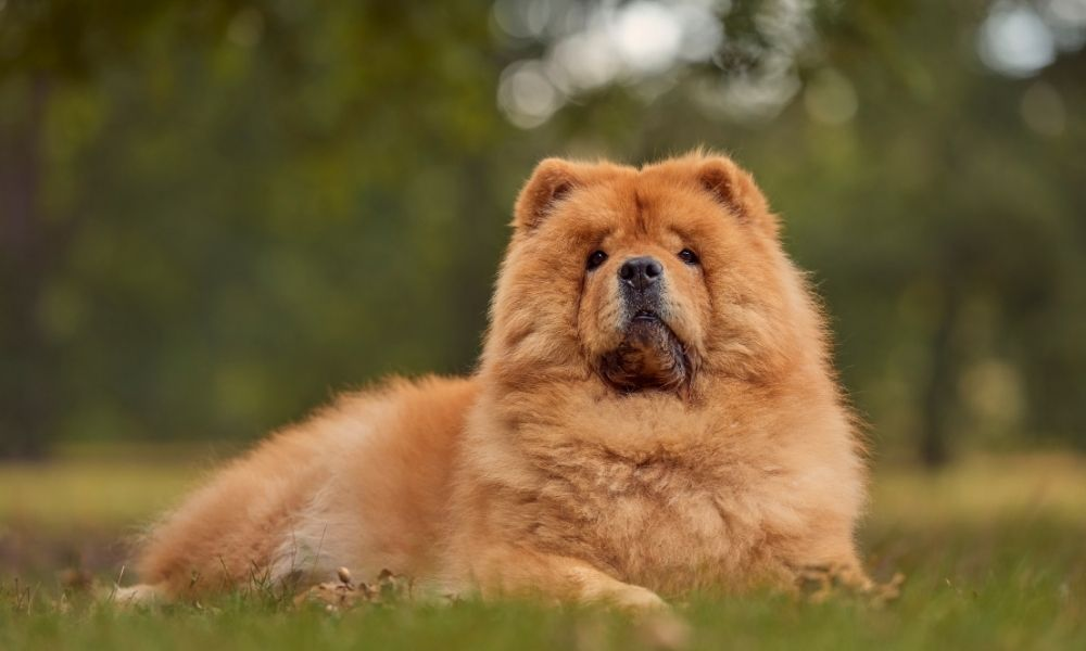 brown chow chow posing in the park