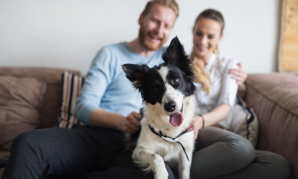 young couple with a curious border collie
