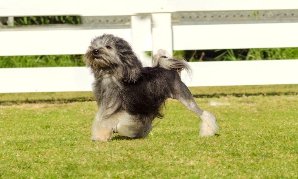 lowchen dog breed running outside in field