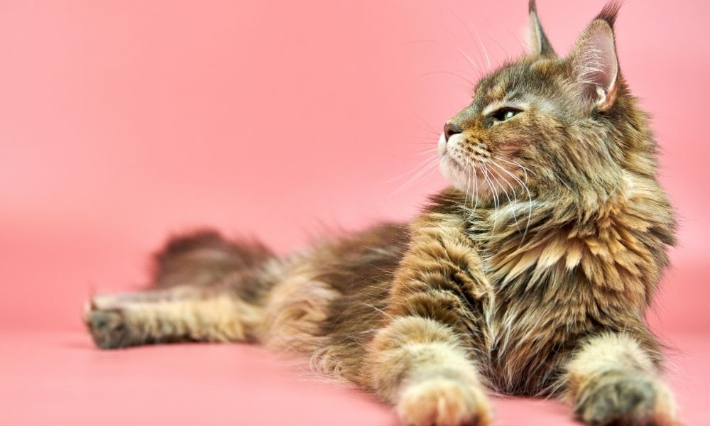 a maine coon stretched out against a pink background