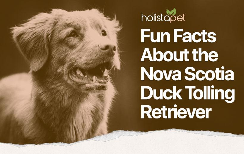 nova scotia duck tolling retriever featured blog image