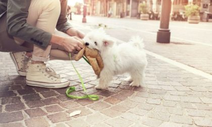 white scottish terrier in the city with owner