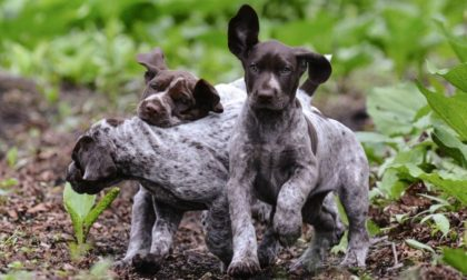 three pups with brown spots outside playing