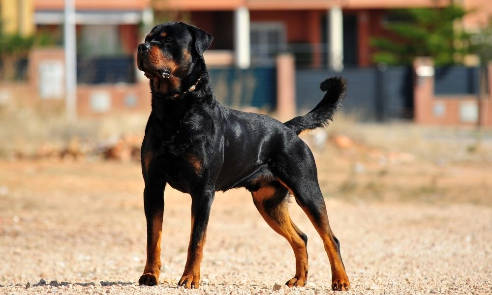 rottweiler dog breed outside in an empty dirt lot