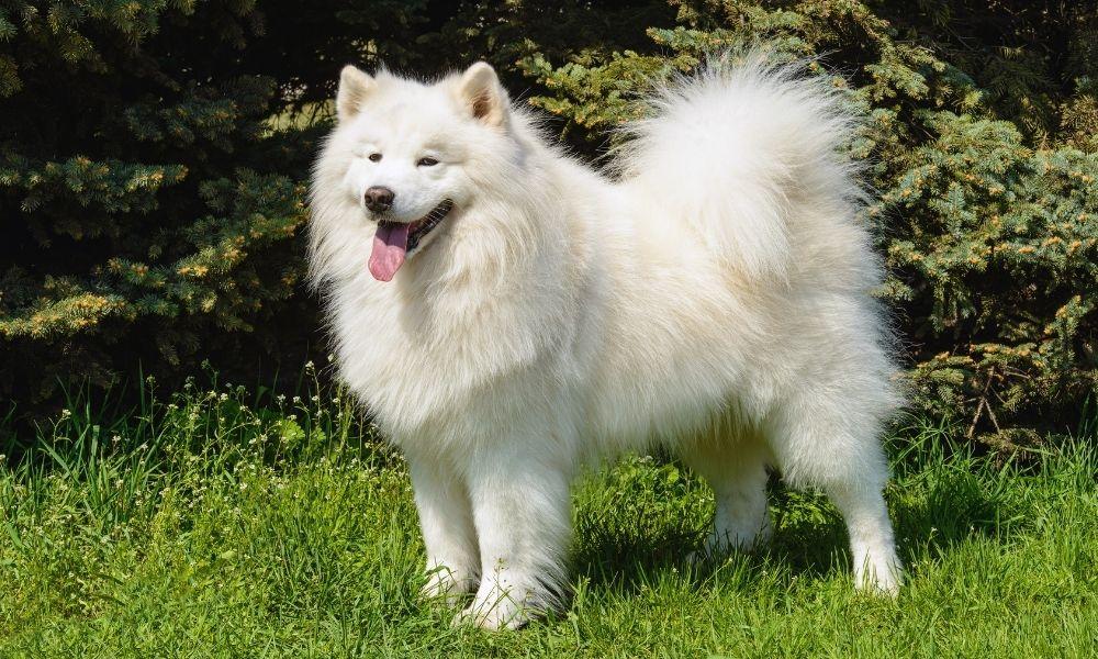 white dog posing outside on grass