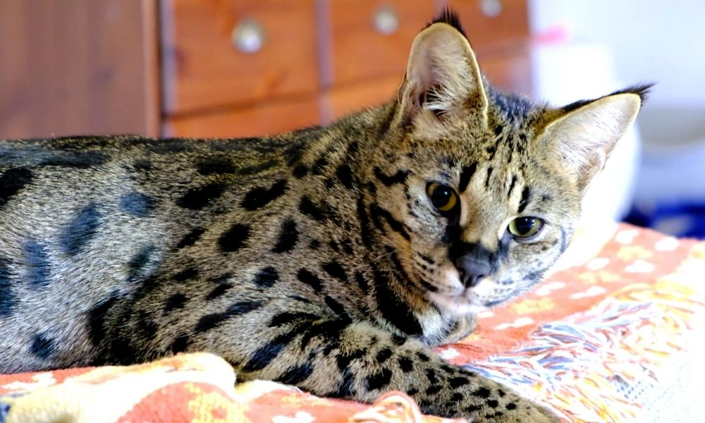 a savannah cat laying on a patterned blanket