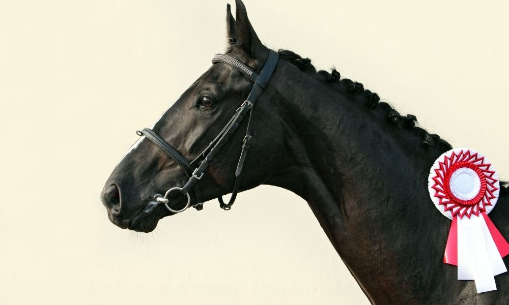 the neck and head of a well-groomed black horse with a medal on it